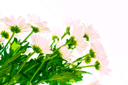 Colorful autumn flowers of chrysanthemum on a white background. nature