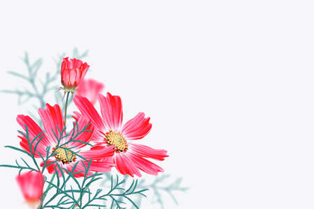 Bright colorful cosmos flowers isolated on white background. nature
