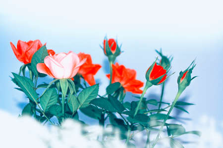Bright colorful flower rose. Natural floral background.