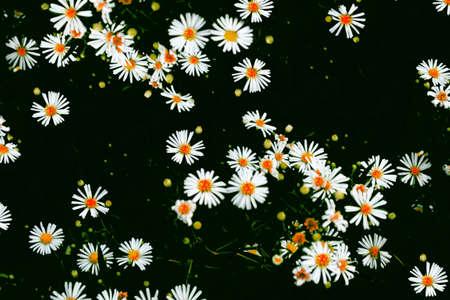 daisies summer white flower isolated on black background. Nature. Reklamní fotografie