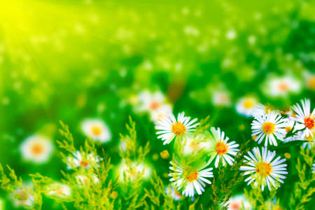 Blurred. White bright daisy flowers on a background of the summer landscape. Wildflowers outdoors