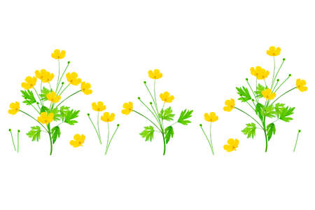 Yellow wildflowers buttercup isolated on white background. set flower Imagens