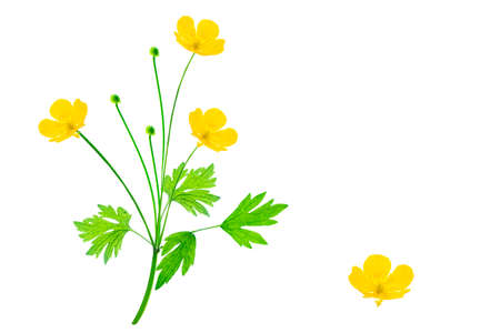 Yellow wildflowers buttercup isolated on white background. flower Ranunculus acris