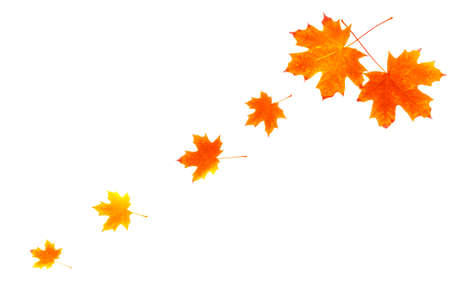 Bright autumn maple leaf on a white background. foliage. Fall concept