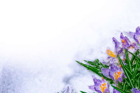 nature. snowdrop flower growing in snow in early spring forest. crocus 免版税图像