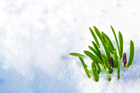 nature. hyacinth flower growing in snow in early spring forest