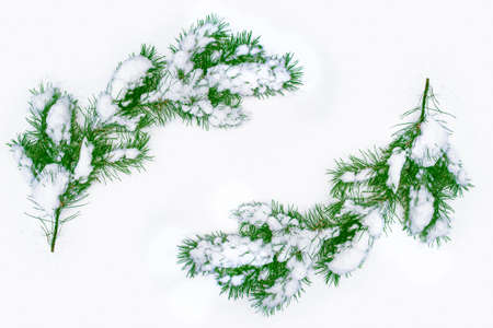 Frozen winter forest with snow covered trees. Coniferous spruce branch. Christmas background. Frame