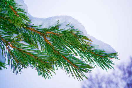 Frozen winter forest with snow covered trees. Coniferous spruce branch. outdoor