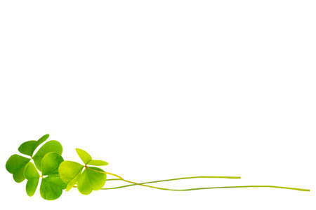 green clover leaves isolated on white background. St. Patrick 's Day. foliage