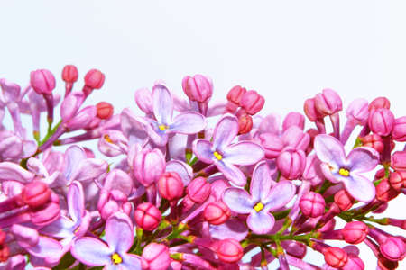 spring flowers lilac isolated on white background. nature