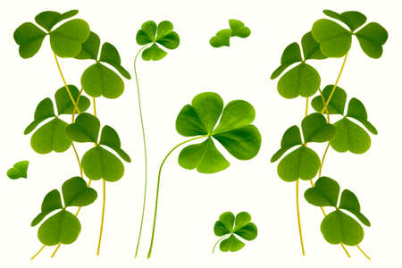 green clover leaves isolated on white background. St. Patrick 's Day. foliage shamrock