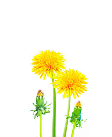 Fluffy dandelion. Spring flowers isolated on a white background. Nature.