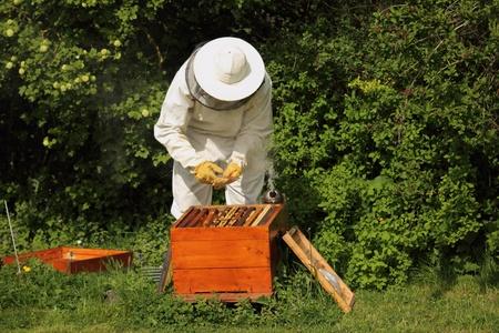 fumigador: Apicultor con las abejas de miel Foto de archivo