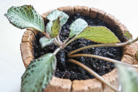Episcia, junge Zimmerpflanze in einem Topf. Isoliert