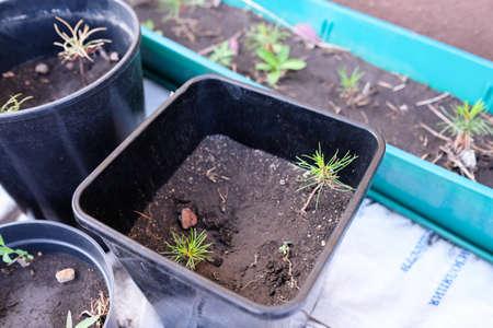Young Cedrus in a pot. Seedlings cedar