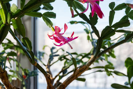 Indoor plant schlumbergera. Houseplant dekabrist blooms. A flower on the windowsill.