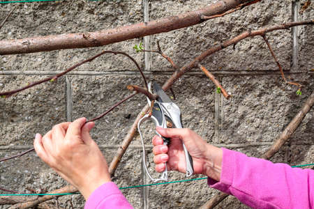 Cut secateurs young branches of apple trees. Pruning trees in spring. Holding a branch with his hand Stock fotó