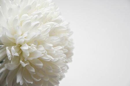 White chrysanthemum. Beautiful white flowers. romance and tenderness.