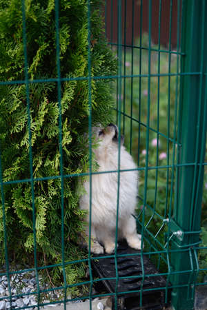 Close up of a Pomeranian spitz puppy sitting in the garden behind fence in summer sunny day and howling