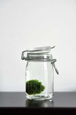Close up of Marimo moss ball in a glass jar with copy space. Standing on a table with white background. Japanese Cladophora seaweed. Ball of underwater moss for the aquarium.