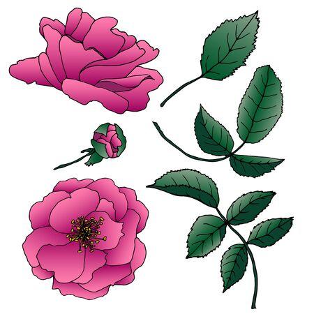 Botanische Vektorgrafik. Vintage Skizze handgezeichnet von Liner Hagebutte Set. Vektorgrafik