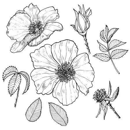 Botanische Vektorgrafik. Vintage Skizze handgezeichnet von Liner Hagebutte Set.