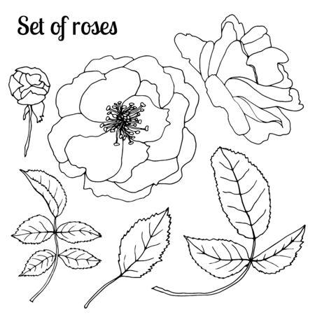 Vector botanical illustration. Vintage sketch hand-drawn of liner rose hip set.