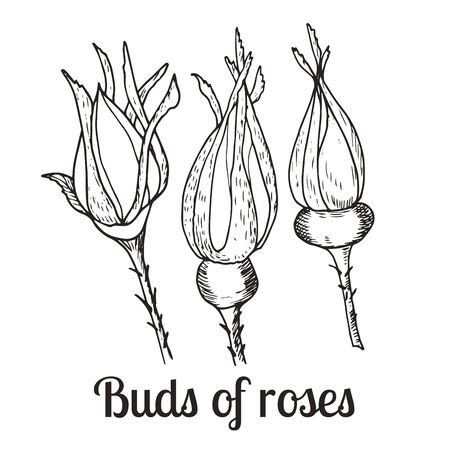 Vector botanical illustration. Vintage sketch hand-drawn of liner buds of rose hip set. Ilustracja