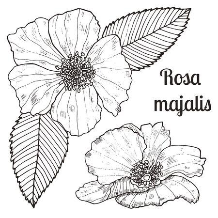 Vintage sketch hand-drawn of liner rose hip set. Vector botanical illustration.