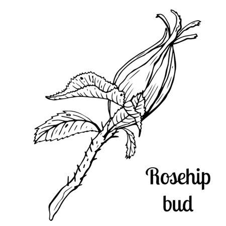Summer fruit engraved style illustration. Detailed hand drawn illustration with bud of rosehip. Floral element for decor. Standard-Bild - 133962814