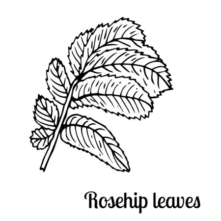 Summer fruit engraved style illustration. Detailed hand drawn illustration with leaves of rosehip. Floral element for decor. Standard-Bild - 133962819