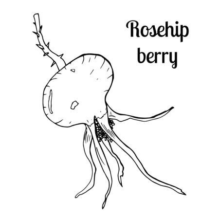 Detailed hand drawn illustration with berry of rosehip. Floral element for decor. Summer fruit engraved style illustration.