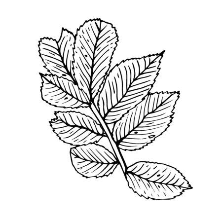 Summer fruit engraved style illustration. Detailed hand drawn illustration with leaves of rosehip. Floral element for decor. Standard-Bild - 133962837