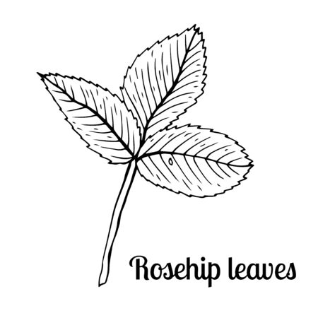 Summer fruit engraved style illustration. Detailed hand drawn illustration with leaves of rosehip. Floral element for decor.