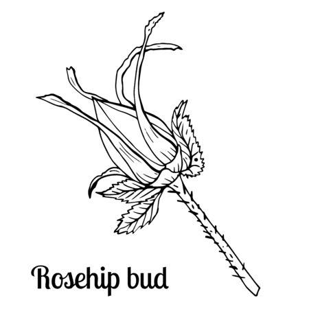 Summer fruit engraved style illustration. Detailed hand drawn illustration with bud of rosehip. Floral element for decor. Standard-Bild - 133963266