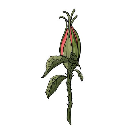 Rosehip colorful bud isolated sketch on white background. Detailed hand drawn illustration with bud of rosehip. Floral element for decor. Illustration