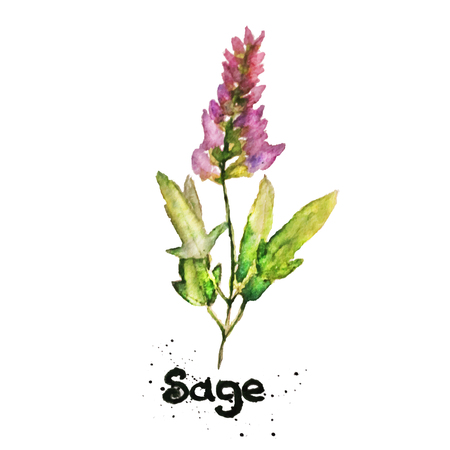 Vector watercolor natural sage plant