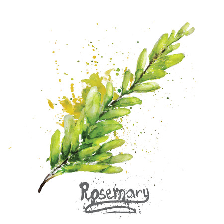 Vector watercolor rosemary green branch with natural leaves