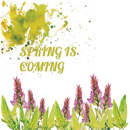 salvia: Vector watercolor natural sage plant background. Salvia.