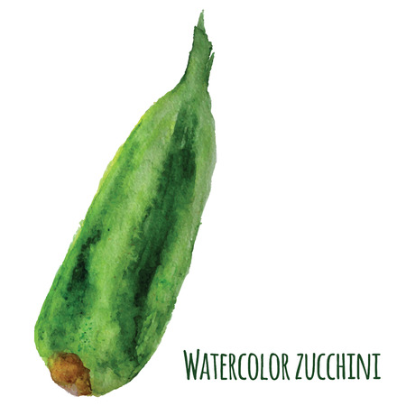 zucchini: Vector fresh watercolor zucchini isolated on white background. EPS10.
