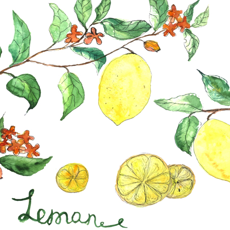 limon: Watercolor vector background fresh lemon branches with flowers and green leaves isolated on white background. Illustration for banners, cards, fabric