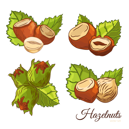 Sketch hazel nut hand drawn set. Isolated organic hazelnuts healthy food. Black walnut snack icon collection with leaves. Roasted nuts for graphic banner, logo design illustration. Illustration