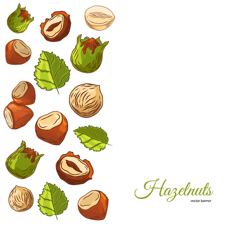 Hazel nut banner. Isolated hazelnuts healthy food. Natural walnut snack with leaves. Organic collection