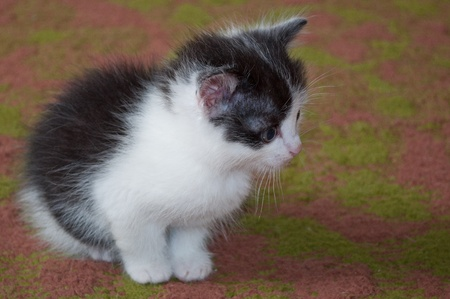 looked: Black-and-white kitten. Looked aside s on a carpet.