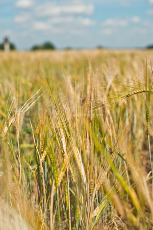 Close up of a summer field with a rye. photo