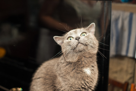 no heels: Gray cat of Siamese breed on a piano. Stock Photo