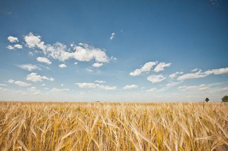 호 밀으로 필드를 내려다 보이는 여름 풍경.