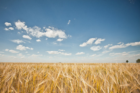 Summer landscape overlooking a field with a rye. photo