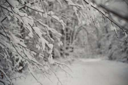 Branches of trees with the snow which has stuck to them. photo