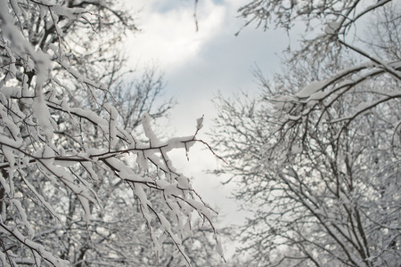 Branches of trees with the snow photo